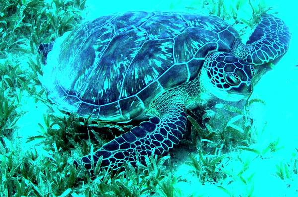 Wall Art - Photograph - Green Turtle Feeding by Louise Murray/science Photo Library