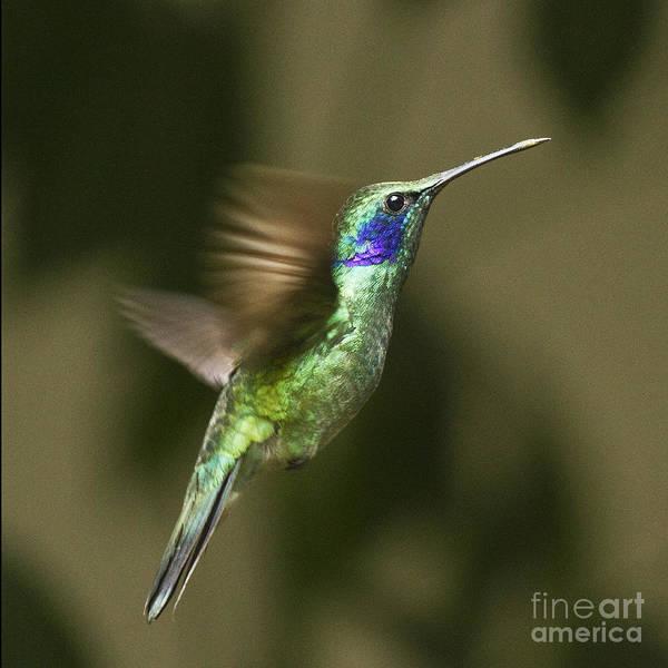 Photograph - Green Violetear  by Heiko Koehrer-Wagner