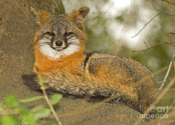 Duval County Photograph - Grey Fox by Millard H. Sharp