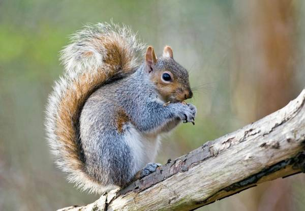Wall Art - Photograph - Grey Squirrel Feeding by John Devries/science Photo Library