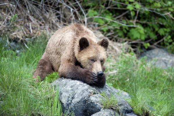Grizzly Bear Art Print by Dr P. Marazzi/science Photo Library