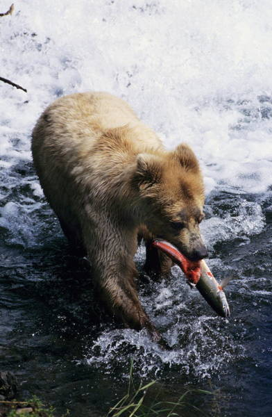 Chinook Salmon Photograph - Grizzly Bear by Philippe Psaila/science Photo Library