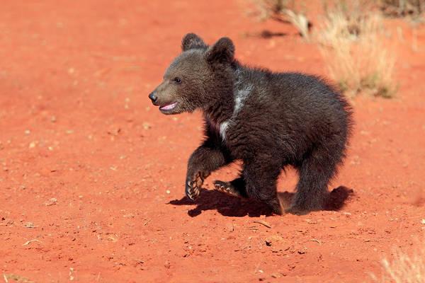 Born In The Usa Photograph - Grizzly Bear by Tier Und Naturfotografie J Und C Sohns