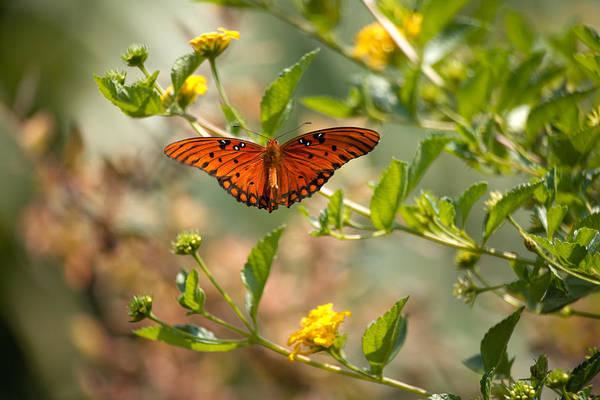 Wall Art - Photograph - Gulf Fritillary Butterfly by Byron Jorjorian