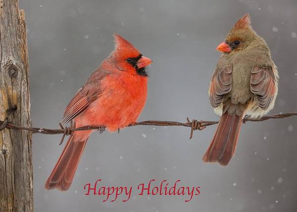 Photograph - Happy Holidays Cardinals by Dale J Martin