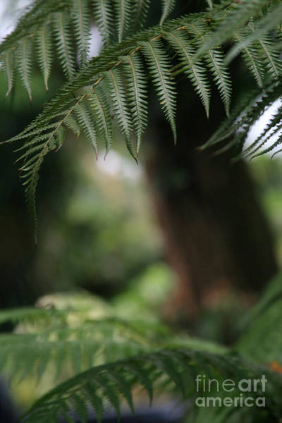 Photograph - Hapu'u Pulu - Hawaiian Tree Fern by Sharon Mau