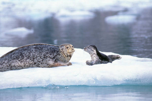 Wall Art - Photograph - Harbor Seal Mother And Pup by F. Stuart Westmorland
