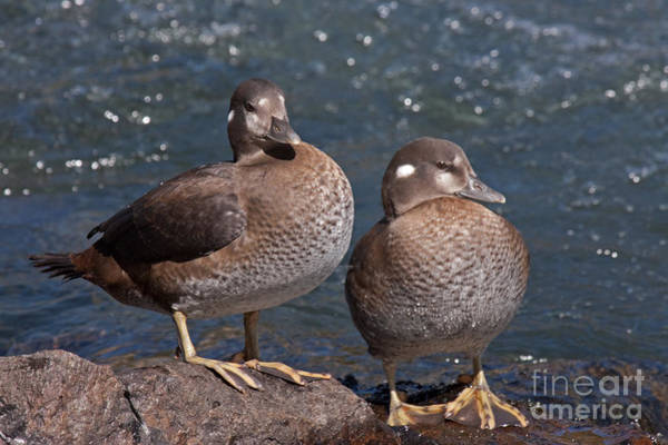 Photograph - Harlequin Duck In The Lehardys Rapids On The Yellowstone River by Fred Stearns