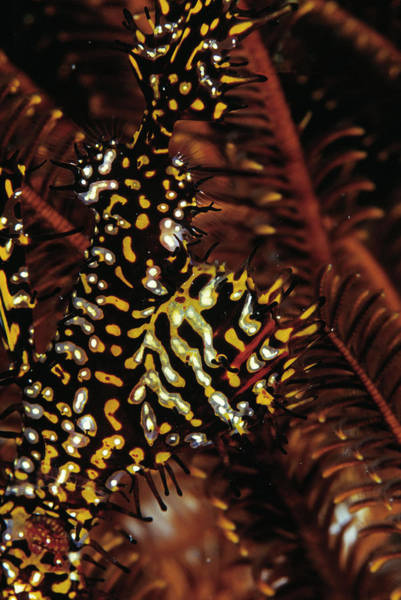 Wall Art - Photograph - Harlequin Ghost Pipefish by Matthew Oldfield/science Photo Library