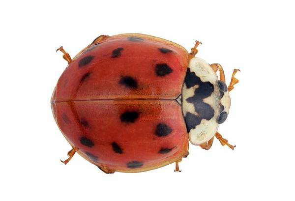 Wall Art - Photograph - Harlequin Ladybird by Pascal Goetgheluck/science Photo Library