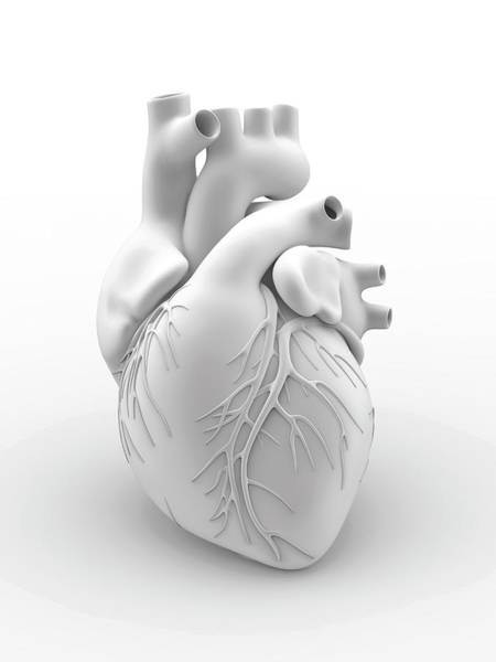 Circulation Wall Art - Photograph - Heart And Coronary Arteries by Alfred Pasieka