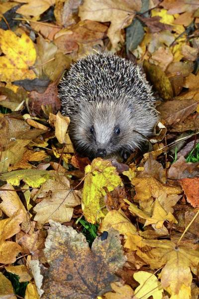 Hedgehog Photograph - Hedgehog by Colin Varndell/science Photo Library