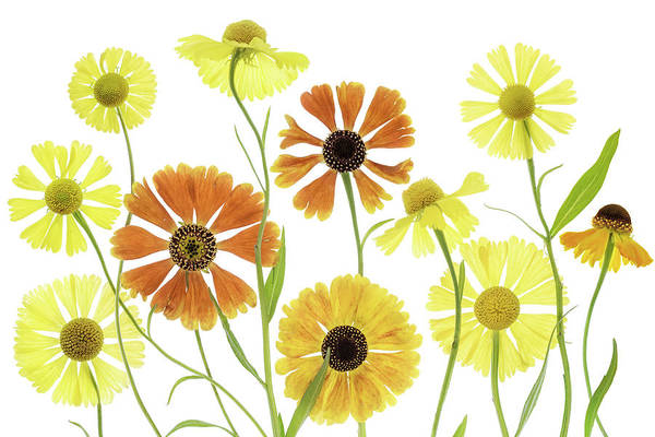 Wall Art - Photograph - Helenium by Mandy Disher