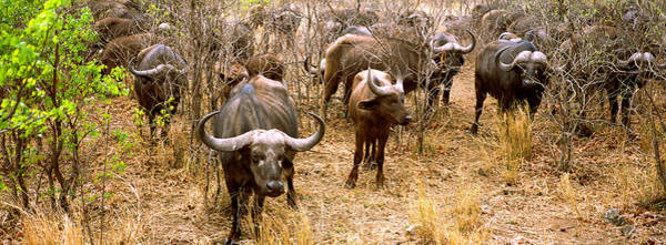Syncerus Caffer Photograph - Herd Of Cape Buffaloes Syncerus Caffer by Panoramic Images