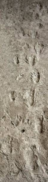 Wall Art - Photograph - Hominid Footprints by Javier Trueba/msf/science Photo Library