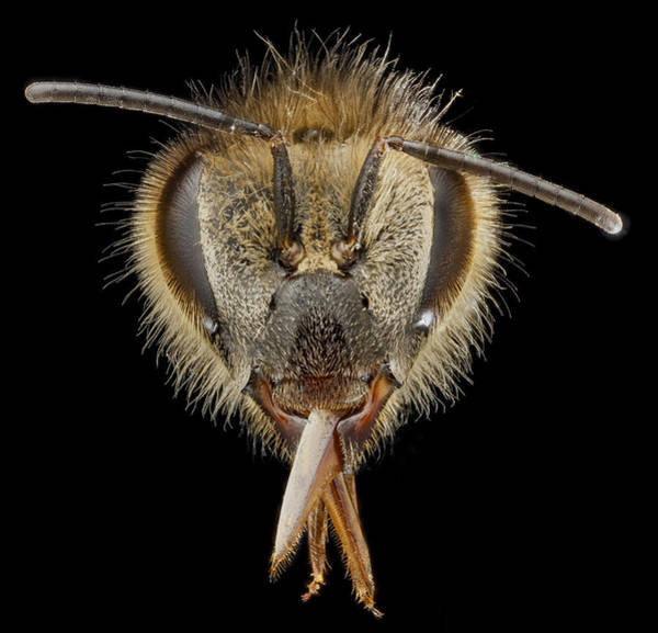 Photograph - Honey Bee, Apis Mellifera, Female by Science Source