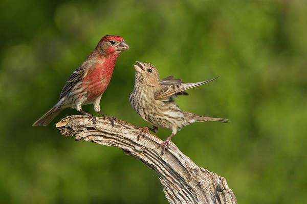 Bird Feeding Photograph - House Finch (carpodacus Mexicanus by Larry Ditto
