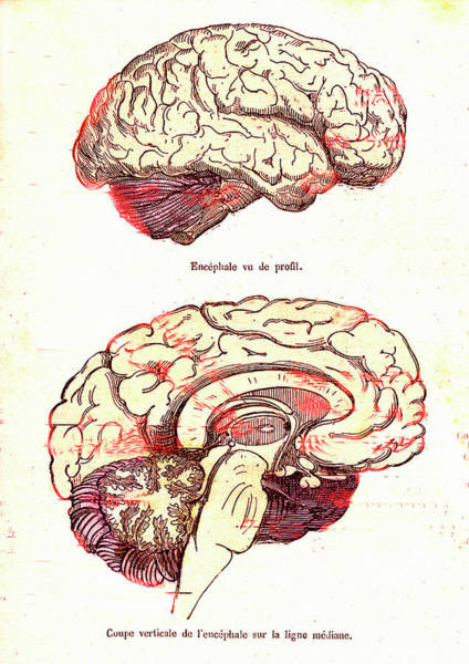 Cutout Wall Art - Photograph - Human Brain by Collection Abecasis/science Photo Library