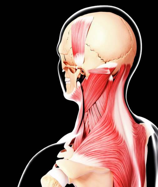 Head And Shoulders Photograph - Human Head Musculature by Pixologicstudio/science Photo Library