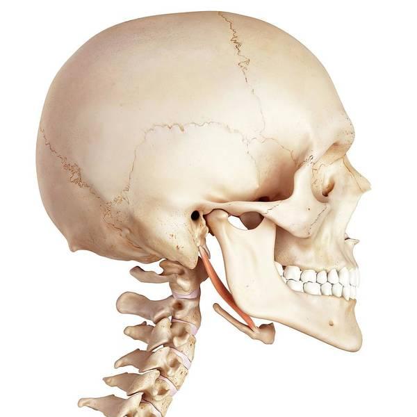 Wall Art - Photograph - Human Jaw Muscle by Sebastian Kaulitzki/science Photo Library
