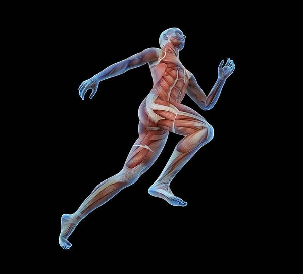 Wall Art - Photograph - Human Musculature by Andrzej Wojcicki/science Photo Library