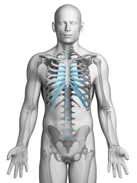 Human Ribcage Art Print