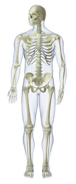 Anatomical Model Photograph - Human Skeleton by Dorling Kindersley/uig
