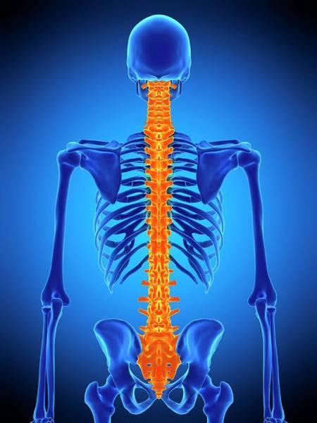 Chronic Pain Wall Art - Photograph - Human Spine by Sebastian Kaulitzki/science Photo Library