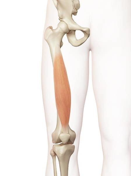 3 Dimensional Wall Art - Photograph - Human Thigh Muscle by Sciepro
