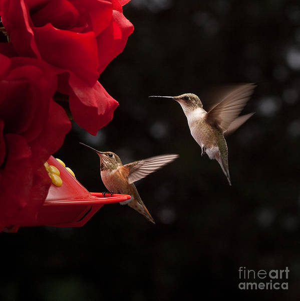 Photograph - Hummingbirds At Feeder by Cindy Singleton