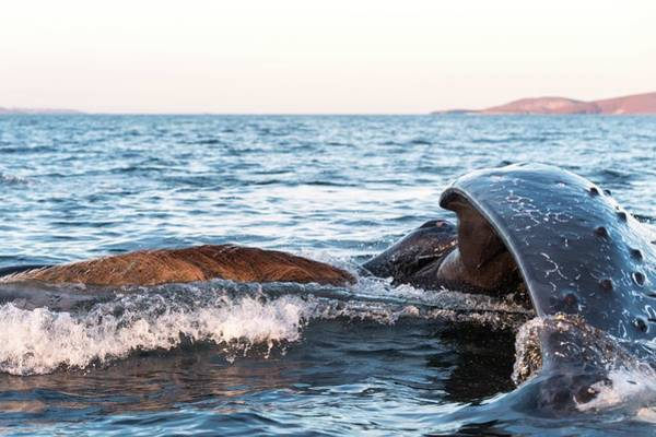 Wall Art - Photograph - Humpback Whale Lunge Feeding by Christopher Swann/science Photo Library