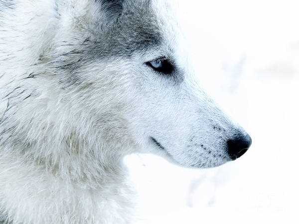 White Wolf Photograph - Husky by Stelios Kleanthous