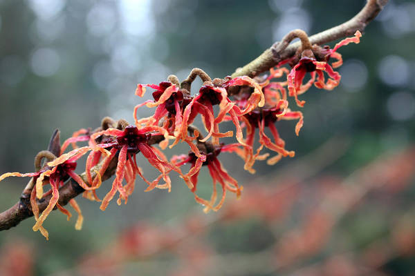 Photograph - Hybrid Witch Hazel by Gerry Bates