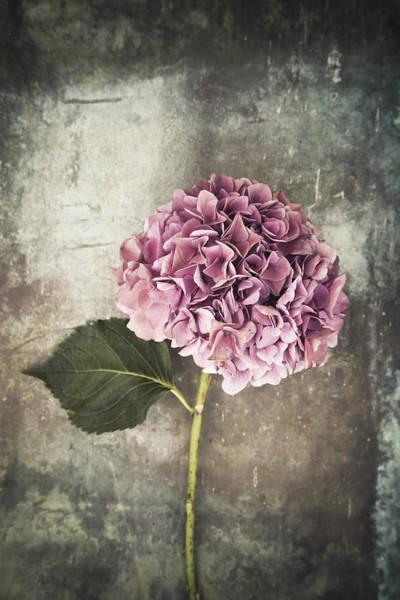Photograph - Hydrangea by Maria Heyens
