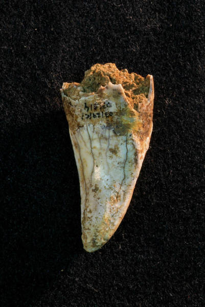 Hyena Photograph - Hyena Tooth Fossil by Marco Ansaloni / Science Photo Library