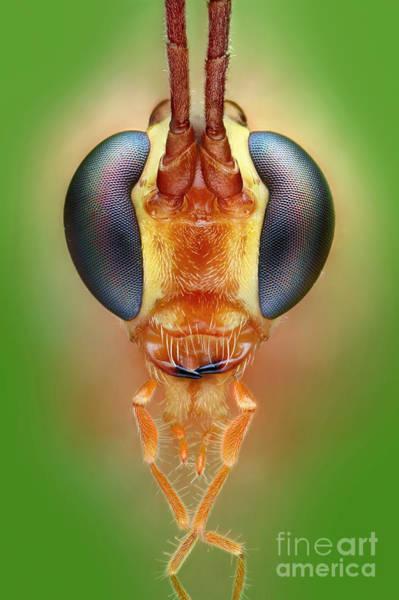 Photograph - Ichneumon Wasp by Matthias Lenke