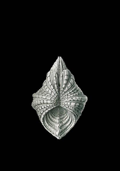 Wall Art - Drawing - Illustration Of Mollusk. Acephala. - Muscheln by Artokoloro