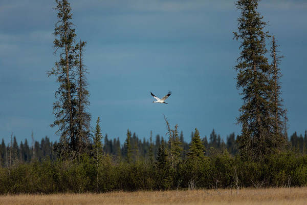 Whooping Cranes Photograph - Images From Wood Buffalo National Park by Tom Lynn
