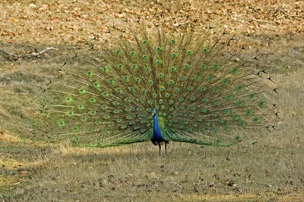 Wall Art - Photograph - Indian Peacock by Tony Camacho/science Photo Library