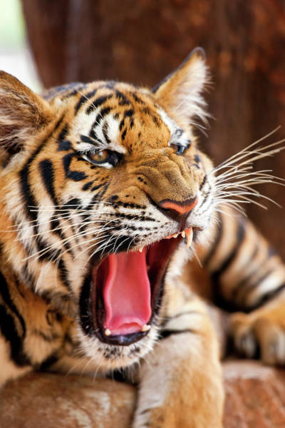 Wall Art - Photograph - Indochinese Tiger Or Corbett's Tiger by Peter Adams