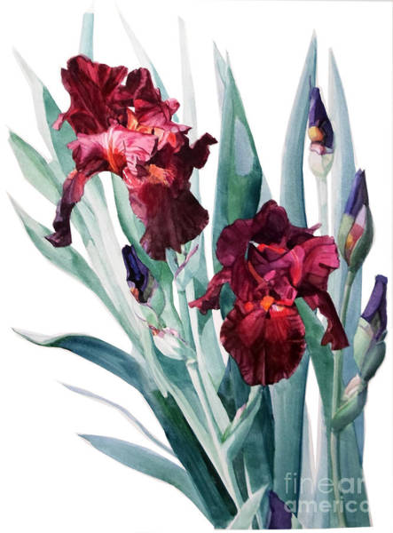 Painting - Dark Red Tall Bearded Iris Donatello by Greta Corens