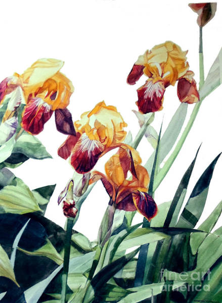 Painting - Watercolor Of Tall Bearded Irises I Call Iris La Vergine Degli Angeli Verdi by Greta Corens