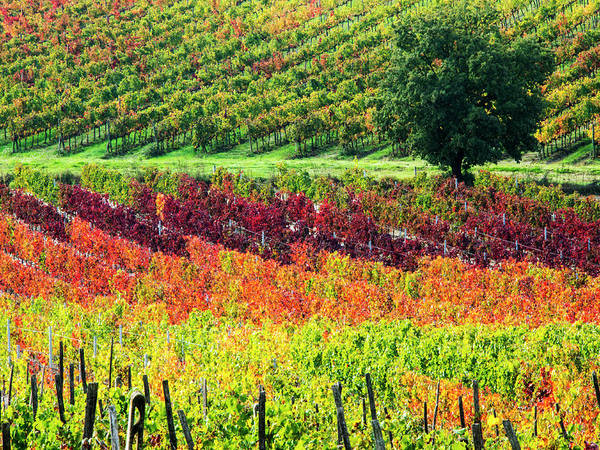 Wall Art - Photograph - Italy, Montepulciano, Autumn Vineyards by Terry Eggers