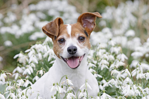 Breed Of Dog Photograph - Jack Russell Terrier by Brian Bevan