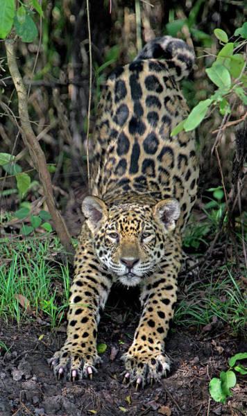 Carnivora Photograph - Jaguar Panthera Onca, Pantanal by Animal Images