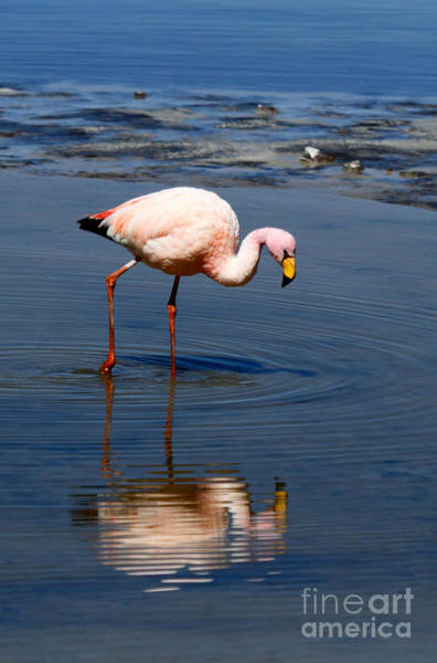 Photograph - James Or Puna Flamingo by James Brunker