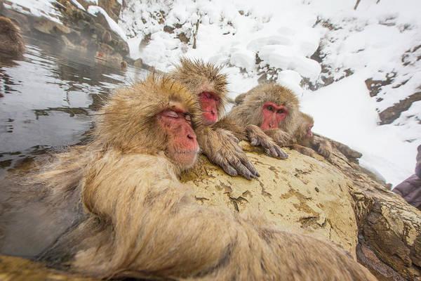Snow Monkey Photograph - Japan, Jigokudani Monkey Park by Jaynes Gallery