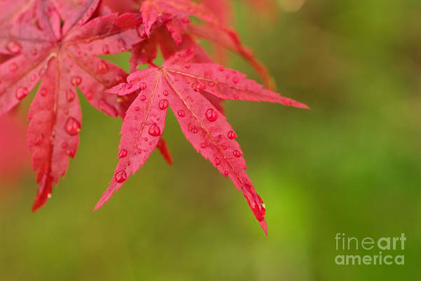Wall Art - Photograph - Japanese Maple Tree by Viktor Pravdica