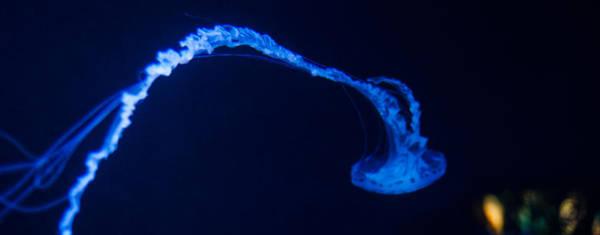 Photograph - Jellyfish Panorama by U Schade