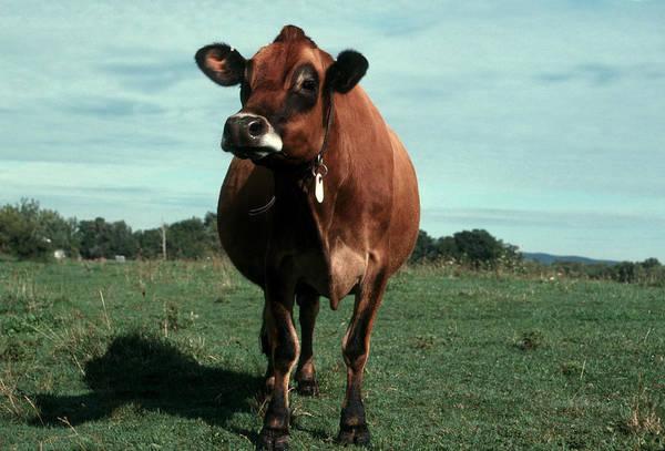 Wall Art - Photograph - Jersey Cow by Bonnie Sue Rauch